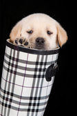 Labrador puppy in water shoe against black background — Stock Photo