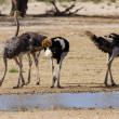 Group of ostriches at a waterhole in the dry desert — 图库照片