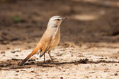 Kalahari scrub robin walking on sand in the sun — Stock Photo