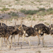 Flock of juvenile ostriches in the kalahari — Stock Photo