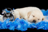 Labrador puppy sleeping on blue feathers with alarm clock — Stock Photo