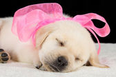 Labrador puppy sleeping on blanket with pink ribbon — Stock Photo