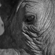Rhino eye close-up looking sad in sunlight artistic conversion — Stock Photo