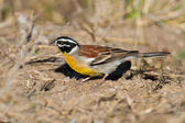 Golden-breasted bunting with lovely colours looking for food — Stock Photo