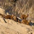 Постер, плакат: Family of dwarf mongoose sitting on termite nest