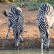 Stock Photo: Two zebrdown on their knees drinking water at sunset in with
