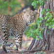 Stock Photo: Large male leopard busy marking his territory on tree
