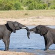 Stock Photo: Two wet elephant play in water and greet each other