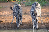 Two zebra down on their knees drinking water at sunset in a with — Stock Photo