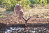 Impala ram down on his knees drinking water at sunset — Stock Photo