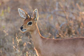 Steenbok standing in the late afternoon sun — Stock Photo