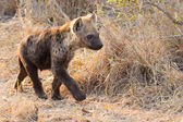 Small hyena pup playing walking outside its den in early morning — Stock Photo