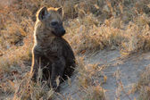 Small hyena pup playing outside its den — Stock Photo