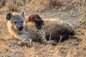 Hungry hyena pups drinking milk from mother suckle — Stok fotoğraf