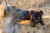Hungry hyena pups drinking milk from mother suckle — Foto Stock