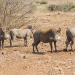 Stock Photo: Pano image of warthog family standing in dry bush looking