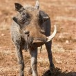 Old warthog with one tooth look tired — Stock Photo #40719485