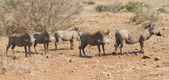 Pano image of warthog family standing in dry bush looking — Stock Photo