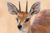 Close-up of steenbok ram head with beautiful harns detail — Stock Photo