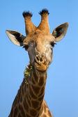 Portrait close-up of giraffe head against a blue sky chew — Stock Photo