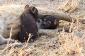 Hungry hyena pups drinking milk from mother suckle — Stock Photo