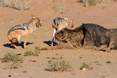 Hungry two Black backed jackal eating on a hollow carcass in the — Stock Photo