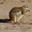 Small ground squirrel sitting on sand eating his food morning su — Stock Photo #41503993
