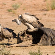 Stock Photo: Vultures fighting at carcass for domination of food in Kalah
