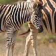 Zebra mare and foal standing close together in bush for safety — Stock Photo #41504695