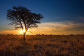 Lovely sunset in Kalahari with dead tree — 图库照片