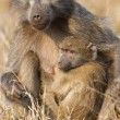 Stock Photo: Baboon family play to strengthen bonds and having fun nature