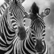 Zebra mare and foal standing close together in bush for safety a — Stock Photo