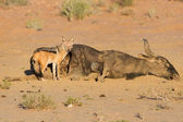 Hungry Black backed jackal eating on a hollow carcass in the des — Stock Photo