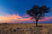 Lovely sunset in Kalahari with dead tree — Stock Photo