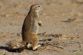 Small ground squirrel sitting on sand eating his food morning su — Stock Photo