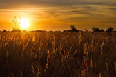 金黄色的夕阳,通过干喀拉哈里沙漠草用可爱的橙色和 — 图库照片