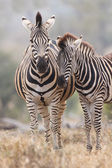 Zebra mare and foal standing close together in bush for safety — Stock Photo