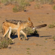 One Black backed jackal play with large feather in dry desert ha — Stock Photo #41866991