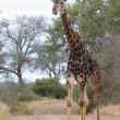 Old dark giraffe slowly crossing road in nature — Stock Photo #41868041