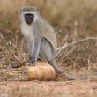 Stock Photo: Vervet monkey sit on rock while forage for food in nature