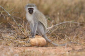 Vervet monkey sit on rock while forage for food in nature — Stock Photo