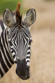 Zebra portrait in nature lovely detail soft light — Stock Photo
