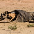 Stock Photo: Hungry Black backed jackal eating on hollow carcass in des
