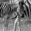 Foto Stock: Zebrmare and foal standing close together in bush for safety a