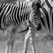 ストック写真: Zebrmare and foal standing close together in bush for safety a