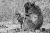 Baboon family play to strengthen bonds and having fun nature  ar — Stock Photo