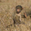 Cute baby baboon sit in brown grass learning about nature what t — Stock Photo #42200731
