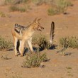 One Black backed jackal play with large feather in dry desert ha — Stock Photo #42208211