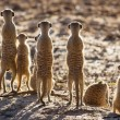 Stock Photo: Suricate family standing in early morning sun looking for po