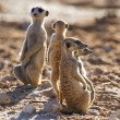 Suricate family standing in the early morning sun looking for po — Stock Photo #42208623